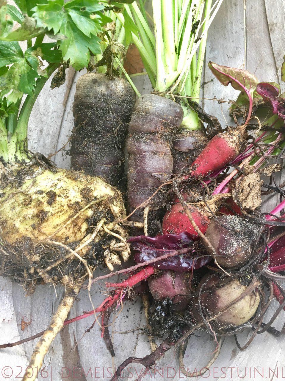 wortelgroente oogsten
